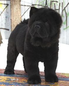 Black Chow Chow Puppy with Long Hair Coat