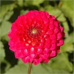 Swan Island Dahlias- another favorite! Small, prolific flower.