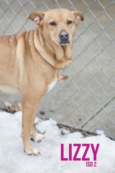 """FEATURED PET OF THE DAY...Sweet girl """"LIZZY (lovebug)"""" is waiting for you! Come down & meet this lovable girl soon! Found in Stark County ...Unclaimed by owner....NOW ADOPTABLE!!! Update 3/1:  Lizzy is such a loving dog, she is more relaxed around people, and even wants to play now!  Please give Lizzy a visit!  We guess she may have come from a home, with little distractions, and was pampered!  The noises and big dogs..."""