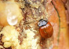 Nombre científico: Neomysia oblongoguttata, Provincia