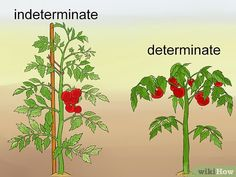 """How to Prune Tomatoes. When growing tomatoes, the ultimate goal is to help the plant yield as much ripe fruit as possible. If you're growing indeterminate or """"vining"""" varieties (Big Boy, Beef Master, most heirlooms), pruning your plants to. Growing Tomatoes Indoors, Tips For Growing Tomatoes, Types Of Tomatoes, Growing Tomatoes In Containers, Growing Vegetables, Growing Plants, Grow Tomatoes, Growing Cherry Tomatoes, Tomato Plant Care"""
