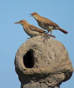 Linde 5 - otro enfoque: El hornero, un pájaro que junto a su pareja construye su nido: ¡un horno!