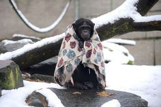 "QUOTE ""In Swansea, the Wales Ape and Monkey Sanctuary wrapped their chimps in blankets to protect them from the chill. Keepers also kept the shivering animals supplied with warm cups of tea and jacket potatoes."" Actually Nakima doesn't need any help to wrap herself up! If you think she looks good you can adopt her or one of her buddies www.ape-monkey-rescue.org.uk"