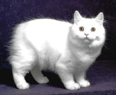 Cymric Cat.. The Cymric is a breed of domestic cat. Some cat registries consider the Cymric simply a semi-long-haired variety of the Manx breed