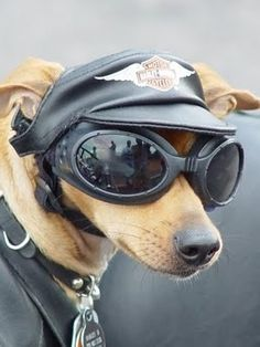 One Cool Harley Dachshund Funny Dogs, Funny Animals, Cute Animals, Clever Animals, Funny Chihuahua, Harley Davidson, I Love Dogs, Cute Dogs, Photo Humour