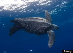 The Pacific Leatherback sea turtle has been an endangered species since 1970, and their population has decreased an estimated 95% in the last 25 years. Known as the largest sea turtle in the world, the species survived the extinction of the dinosaurs more than 65 million years ago. Recently, its sighting along the Northern California is of deep concern to marine biologists, as the America's Cup threatened its migration and safety.