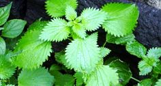 17 Practical Camping Tricks, Tips and Ideas - Stinging Nettle (Urtica dioica) Camping Hacks, Camping Ideas, Kids Allergies, Poisonous Plants, Campfire Food, Forest Garden, Dry Leaf, Get Outdoors, Organic Farming