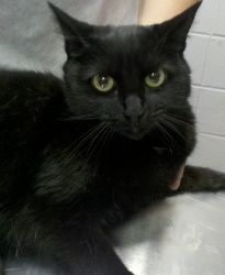 Tessa is an adoptable Domestic Short Hair Cat in Cumming, GA. Hi I'm Tessa, a beautiful black declawed domestic short haired female born around 7/26/08. . Currently I live with a loving foster family ...