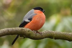 #bird #bullfinch #foraging #garden #male #pyrrhula #royalty free #tree