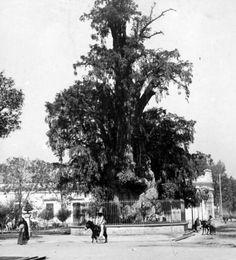 Árbol de la Noche Triste en 1900.