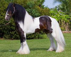 colorful pictures of draught horses | Gypsy Vanner Horse Stallions