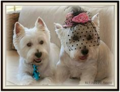 Max and Luna came home from the Beauty Parlor like this(LOL).....   from a FB account