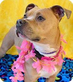Westampton, NJ - American Staffordshire Terrier. Meet Mariah D-63296, a dog for adoption. http://www.adoptapet.com/pet/12662638-westampton-new-jersey-american-staffordshire-terrier