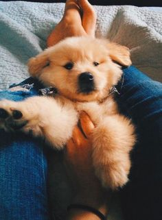 The Versatile Golden Retriever - Champion Dogs Animals And Pets, Baby Animals, Funny Animals, Cute Animals, Cute Puppies, Cute Dogs, Dogs And Puppies, Doggies, Cute Fluffy Dogs