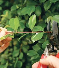 There are several plant propagation techniques that can be used to increase your plant stock, and this article covers the plant propagation technique of taking cuttings.   Propagation by Cuttings A simple way of propagating most shrubs is by taking mature stem cuttings, while many perennials can be grown from tip o
