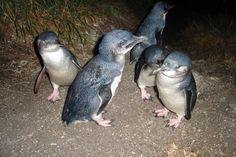 Nightly penguin tours in Bicheno, Tasmania.