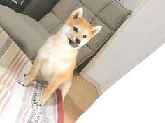 Sora #柴犬 #柴 #子犬 #犬 #dog #dogstagram #shibainu #shiba #shibalove #puppy #shibapuppy #doglife #shibalife #instadog #shibastagram #dogs #dogsofinstagram #cutedog #dogoftheday #japan #instashiba #shibalovers #doglovers #japanesedog #puppylove #わんこ #dogdaily #しばいぬ #dailyfluff #ilovemydog