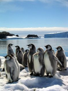 Group of fledging emperor penguin chicks Penguin Day, Penguin Parade, Penguin Love, Cute Penguins, Penguin Images, Beautiful Birds, Animals Beautiful, Galapagos Penguin, Baby Animals