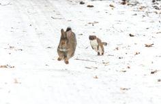 'Run, Rabbit, Run!' by Brian Hewitt – February 2011 (stoat and rabbit) - © Brian Hewitt