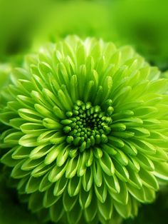 1) Your favorite flower to grow #organic and #gardening green mums Green Life, Go Green, Bright Green, Green Colors, Colours, Green Flowers, Beautiful Flowers, Terra Verde, Nature Verte