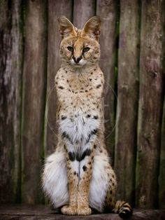 Image Serval Pet, Serval Kitten, Ragdoll Cats, Manx Kittens, Manul Cat, Cats And Kittens, Sphynx, Images Of Animals, Cute Animals