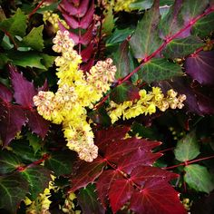 Mahonia nervosa, Oregon grape Instagram by @fernwoodsy