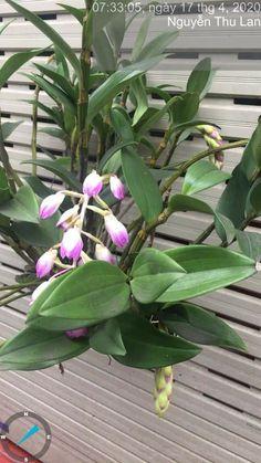 Dendrobium Orchids, Flowers, Plants, Plant, Royal Icing Flowers, Flower, Florals, Floral, Planets