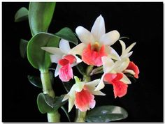 dendrobium normanbyense x convolutum   2012 Copyright by AIT-Themes . All rights reserved.