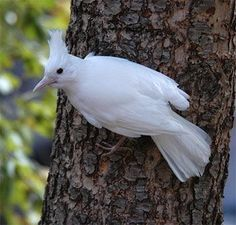 Albino Bluejay