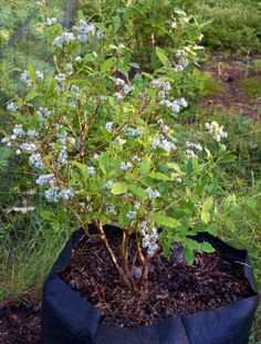 Growing blueberries container gardening picture of blueberries in a Smart Pot - Photograph © Kerry Michaels Blueberry Plant, Blueberry Bushes, Fruit Garden, Edible Garden, Organic Gardening, Gardening Tips, Growing Blueberries, Organic Blueberries, Blackberries