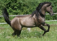 Jan 2020 - Beautiful coloring, obviously the dun has a dorsal stripe. See more ideas about Horses, Beautiful horses and Pretty horses. Grulla Horse, Dun Horse, Andalusian Horse, Arabian Horses, Most Beautiful Horses, All The Pretty Horses, Horse Photos, Horse Pictures, Beautiful Creatures