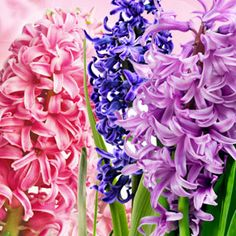 Hyacinth Fragrance Oil #fragranceoil #fragranceoils #fragrance