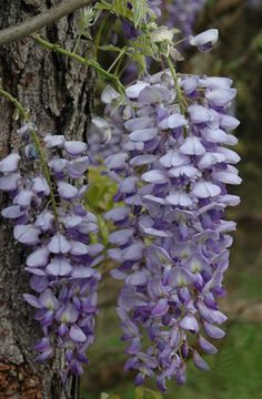 Meet Chinese Wisteria (Wisteria sinensis) and its relative Japanese Wisteria (Wisteria foribunda). These vine species were brought to the U.S in the 1800s and valued for their flowers and fast growth. However, they are invasive in much of the U.S., growing up to 70 feet in length and sending runners all over neighborhoods. Instead, plant American Wisteria (Wisteria frutescens).