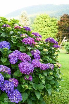Purple hydrangeas / If it weren't for those ever reliable blooming perennials... via FunkyJunkInteriors.net