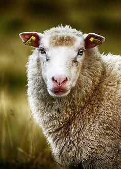 Sheep 22 (best viewed in fullscreen) | Flickr - Photo Sharing!