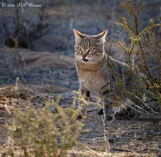 """African Wild cat"" Wild Animals Pictures, Animal Pictures, Nature Pictures, Baby Cats, Cats And Kittens, African Wild Cat, Small Cat, African Animals, Wild Ones"