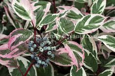 cornus alba sibirica 'Variegata' - 90 x 90cm - red stems in winter, variegated green and white leaves flush pink in autumn.
