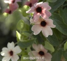Blushing Susie Black-Eyed Susan Vine  Full or partial sun, moderate watering.  Trellis plant for in front of bedroom window