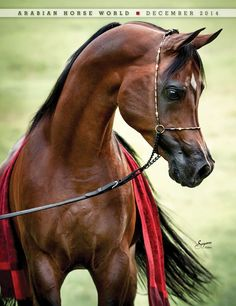 Arabian Horses For Sale, Egyptian Arabian Horses, Beautiful Arabian Horses, Most Beautiful Horses, Majestic Horse, Animals Beautiful, Cute Horses, Pretty Horses, Arabian Stallions