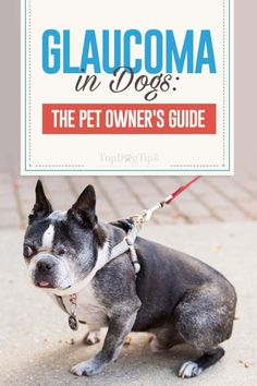 Dog Glaucoma Guide All Dogs, Best Dogs, Dogs And Puppies, Dog Health Tips, Pet Health, Health Care, Pet Care Tips, Dog Care, Puppy Drawing