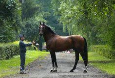 Polish Half-Bred Horse stallion Mars