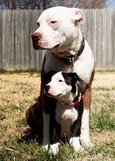 Do you love Pitbull? If yes read the types of Pitbull Breeds that are really popular right now. This list of Pitbull breed is very famous because of their extra ordinary characteristics Beautiful Dogs, Animals Beautiful, Cute Animals, Animals Dog, I Love Dogs, Cute Dogs, Perros Pit Bull, Nanny Dog, Bull Terrier Dog