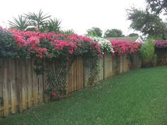 Question: I planted some bougainvillea next to trellises in my back yard. I pruned them into a canopy along the fence. I fed them Miracle-Gro Shake'N Feed in late October. I have enclosed some photographs for your enjoyment. Front Yard Fence, Farm Fence, Backyard Fences, Backyard Landscaping, Low Fence, Pallet Fence, Fence Gate, Bougainvillea Trellis, Bougainvillea Colors