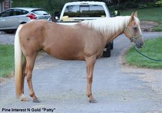 Stunning, Talented All-Around Double-Reg Palomino Mare For Sale | Buy this Horse at Equine.com