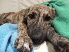 greyhound puppy - nothing cuter!