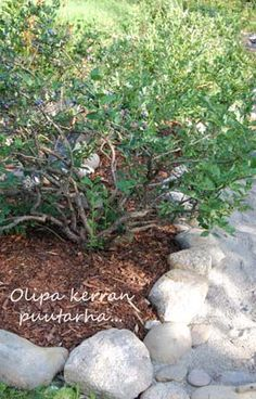 Mustikkapensas, luonnonkivireunus ja puunkuorikate Plants, Plant, Planting, Planets