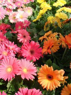 Gerbera daisies - Jackson Florist and Garden Center