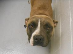 Pancakes Boxer & American Bulldog Mix Age: Adult Sex:Female Weight:50-55lbs. Size:Large Color:Light tan, Black and white Meet Pancakes, a sweet 3 year old found roaming Creech rd and 301. Pancakes is wearing an electric fence collar and so desperately looking for her family. She knows the commands of sit, stay and listens very well. Pancakes will be available for adoption on F