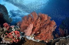 Damien Mauric, from the UK, said of his picture: 'I like to create images showing marine life in motion and Raja Ampat in Indonesia is probably the best place on earth for creating this type of image'