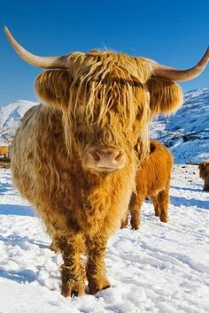 "A local.. Heilan Coo as we say! Highland cows.. always make me smile :) (""Scotch Highlanders"") - we took care of these cows all winter ..."
